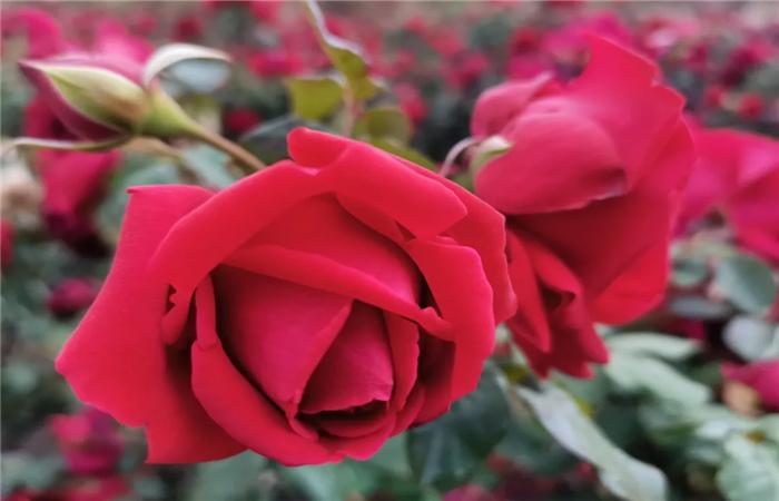 春城玫瑰开了,品味5月不一样的红色海洋,在花的花世界里迷离忘我